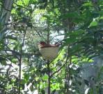 Red Face Liocichlia