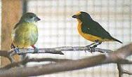 Violaceous Euphonia Pair (female left)