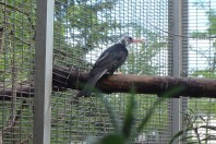 White Head Black Bulbul Moulting