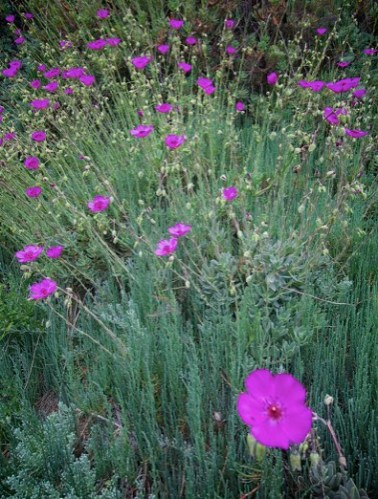Purple poppies strain toward the sun