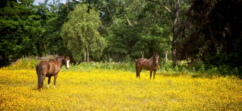 Horses and weeds