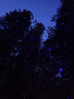 pine trees against night sky with blue lights on them