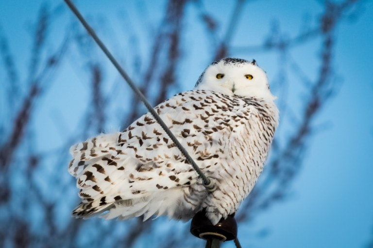 Snowy Owl – A little Info