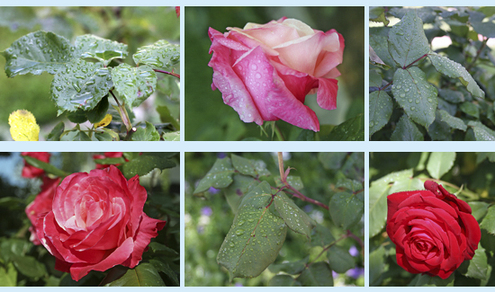 Rosecollage_2