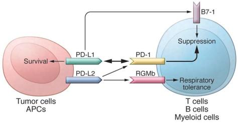The PD pathway. The PD pathway has at least 5 interacting molecules. PD-...