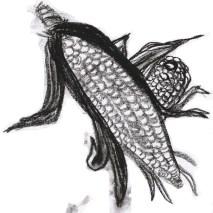 Corn drawing