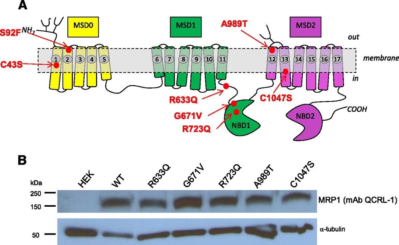 Two Polymorphic Variants of ABCC1 Selectively Alter Drug