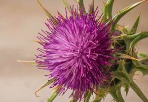 Dest s20 - La flore del cardo Onopordum acanthium