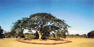 Árbol de guanacaste, que dio origen al nombre de la Provincia