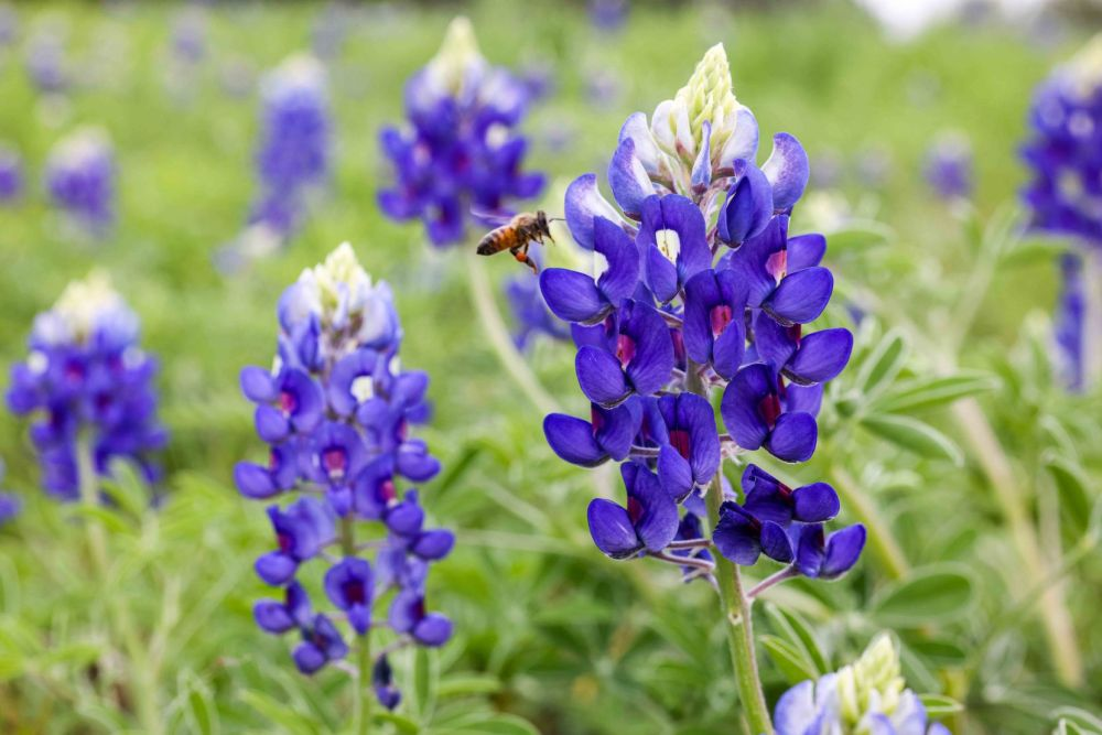A bee hovers over a bloom in a bluebonnet field near Legacy and Corporate drives in Plano. The nearby Toyota campus is also known for its bluebonnets this time of year.