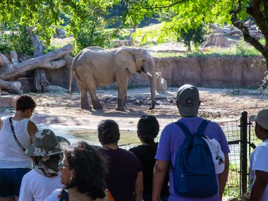 Families with children watch an elephant at the Dallas Zoo.