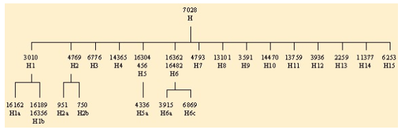 Haplogroup H early