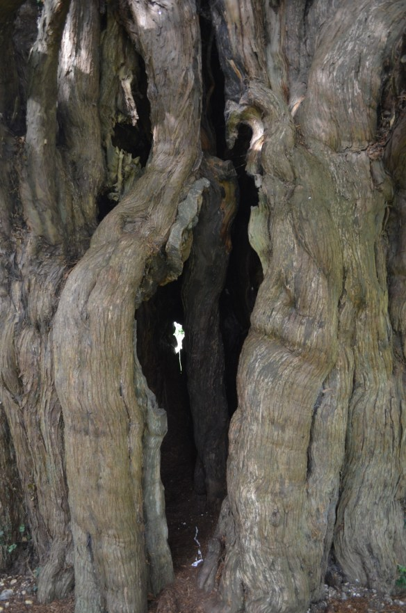 ringwould st nicholas hollow yew