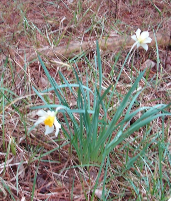 Younger daffodil