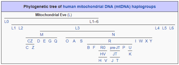 Mitochondrial bare bones tree.png