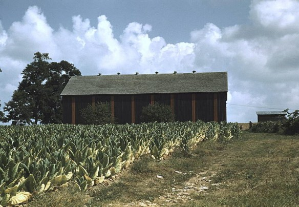 James Moore tobacco field.jpg