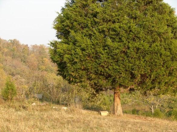 McDowell Cemetery tree.jpg