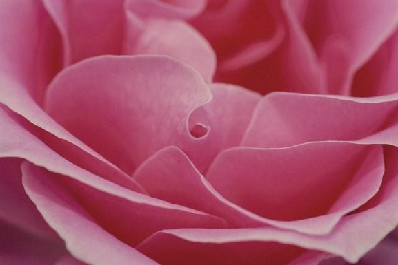Surviving rose.jpg