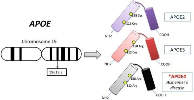 ApoE Genotype - DNA ConneXions®