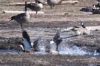 Ruddy Shelducks & Canada Geese