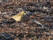 Pipit_IMG_0278