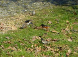 Spotted Towhee, Dark-eyed Junco