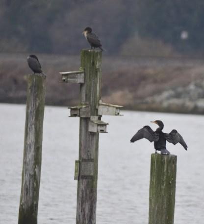 Double-crested Cormorants (GB)