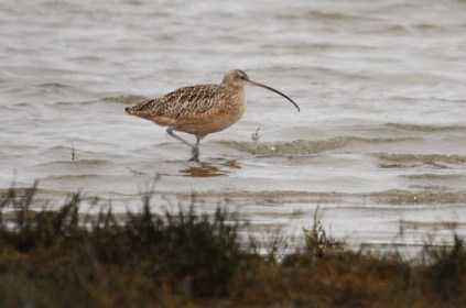 Long-billed Curlew (TC)
