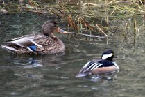 Hooded Merganser (m) & Mallard (f) (TC)