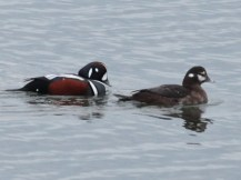Harlequin Duck pair (JM)