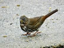 Fox Sparrow (KB)