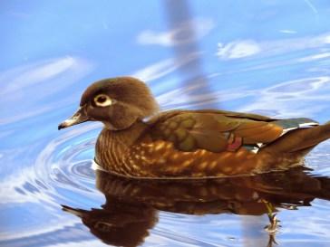 Wood Duck (f) (GB)