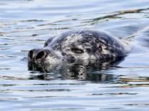 Harbour Seal (JM)