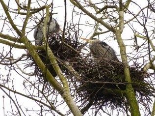 Great Blue Herons on nests (MS)