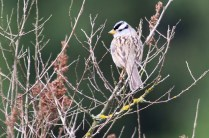 White-crowned Sparrow (TC)