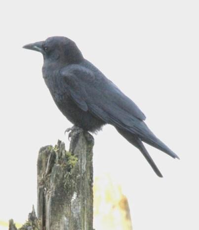 Northwestern Crow (JK)
