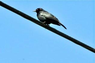 Brewer's Blackbird (KB)