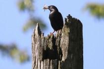 European Starling (TC)