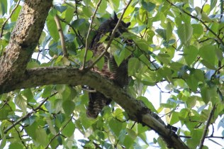 Great-horned Owl at Beach Grove (TC)