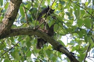 Great-horned Owl at Beach Grove (TC)