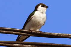 Violet-green Swallow (TC)