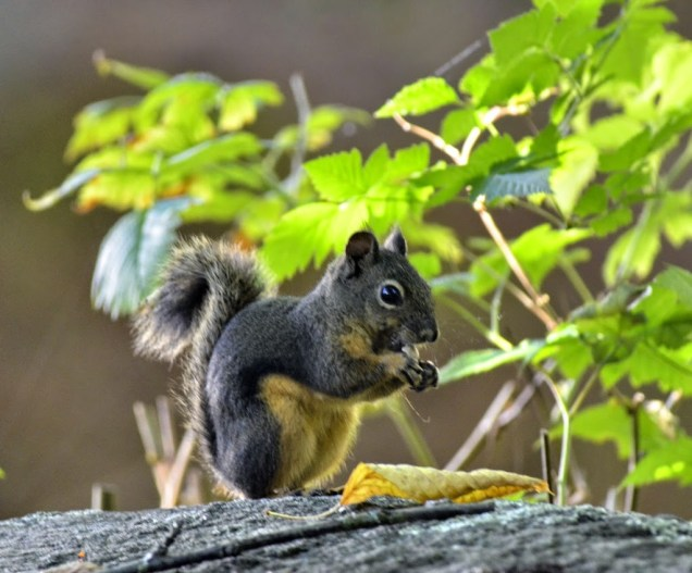 GB_Douglas_Squirrel_DSC2663
