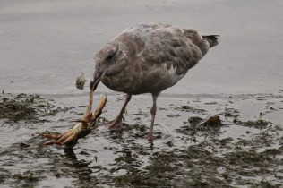 Gull with crab (TC)