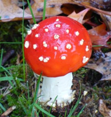 Amanita muscaria, or Fly Agaric Button (RM)