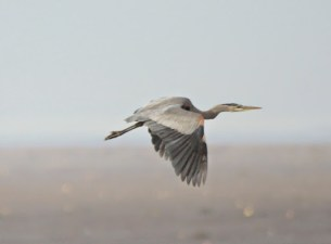 Great Blue Heron (JK)