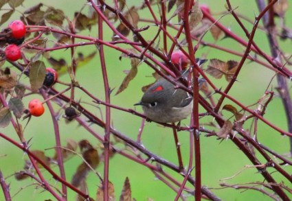 Ruby-crowned Kinglet (TC)