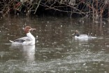 Common Merganser & Common Goldeneye (TC)