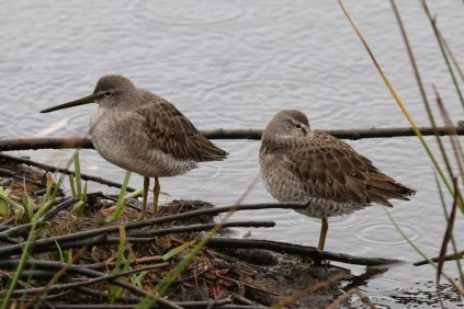 Long-billed Dowitcher (TC)