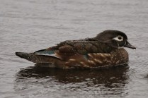 Wood Duck (f) (TC)