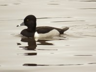 Ring-necked Duck (m) (JK)